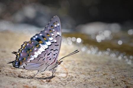 黒い蝶 (Amathuxidia アミュター...
