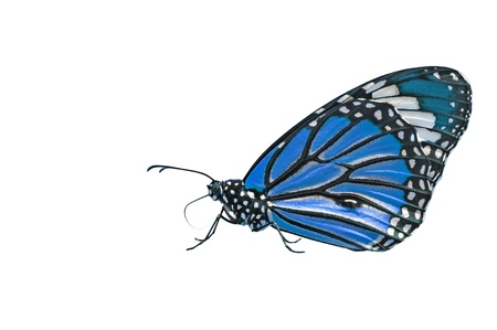 Blue Butterfly on Isolated White