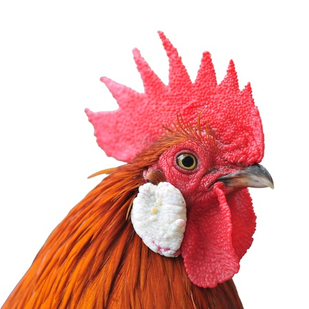 roster: Chicken head isolated on white  Stock Photo