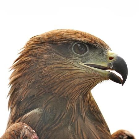 merlin falcon: Eagle isolated on white background  Stock Photo
