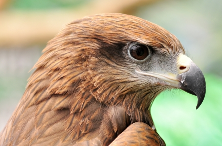 big eyes: head of Black Kite Bird