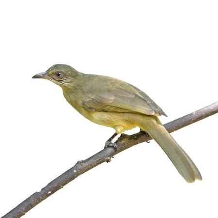 brow: Brow bird on white background