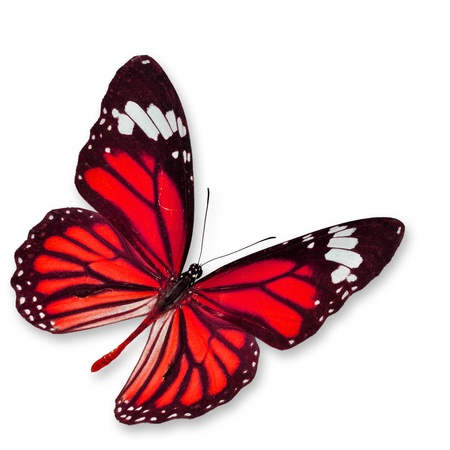 mariposas volando: Red mariposa, aislado en fondo blanco