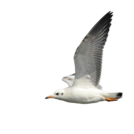 disseminate: flying common seagull isolated on white background