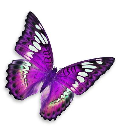 papillon rose: Violet papillon, isolé sur fond blanc