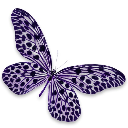 white butterfly: Black and Purple Butterfly isolated on white background Stock Photo