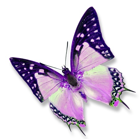 흰색 배경에 고립 된 보라색 나비 스톡 콘텐츠