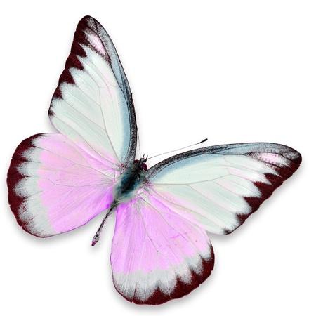 papillon rose: Papillon rose et blanc isolé sur fond blanc