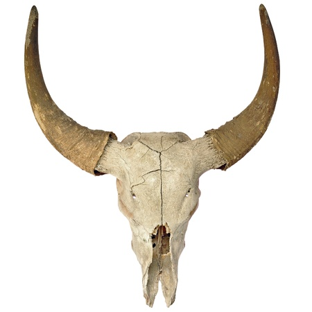 skull biology: head skull of bull isolated on white background