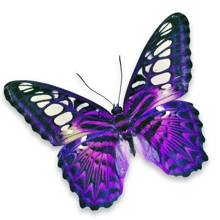 mariposas volando: Mariposa p�rpura aisladas sobre fondo blanco Foto de archivo
