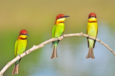 Chestnut-headed Bee-eater Bird of Thailand photo