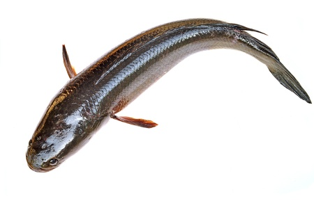 striped snakehead fish: Giant snakehead fish