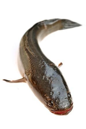 chevron snakehead: Giant snakehead fish