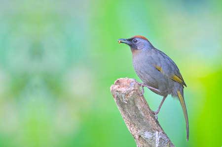 laughingthrush: Chestnut-crowned Laughingthrush, Bird of Thailand Stock Photo
