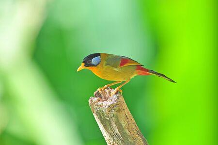 mesia: Golden Bird (Silver-eared Mesia, male), Bird of Thailand