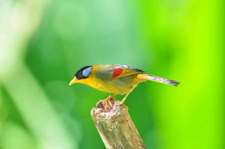 leiothrix argentauris: Golden Bird (Silver-eared Mesia, female), Bird of Thailand Stock Photo