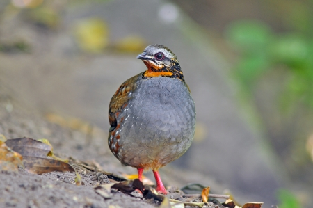 kuropatwa: Ryży-throated Partridge, Ptaki z Tajlandii