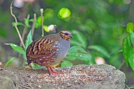 brown throated: Rufous-throated Partridge, Birds of Thailand Stock Photo