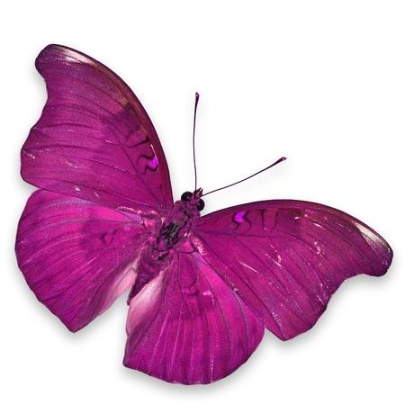 papillon rose: Papillon rose de vol isolé sur fond blanc Banque d'images