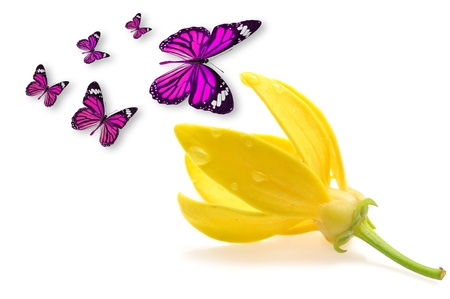 odorous: ylang-ylang flower with butterfly Stock Photo
