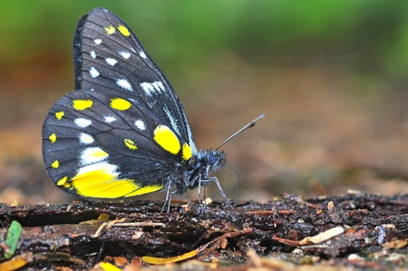 belladonna: Yellow and Black Butterfly on nature Stock Photo