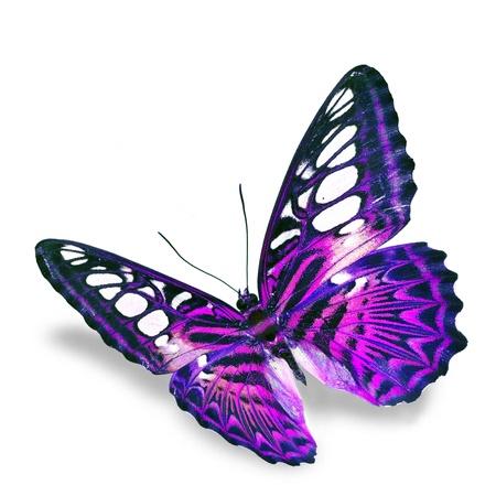 격리 된 흰색 배경에 보라색 나비의 비행,