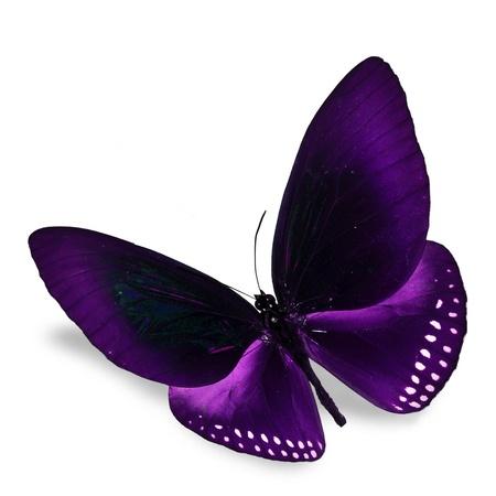 morado: Purple Butterfly vuelo, aislado en fondo blanco Foto de archivo