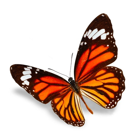 macro animals: monarch Butterfly flying  isolated on white background, Soft shadow underneath. Stock Photo