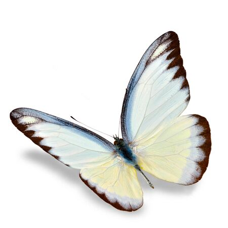 colorful butterfly: White Butterfly flying  isolated on white background, Soft shadow underneath. Stock Photo