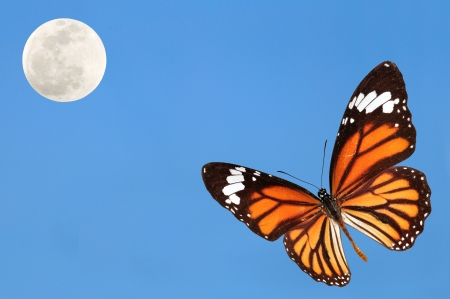 monarch butterfly: Monarch butterfly with blue sky and the moon