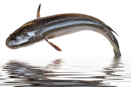 chevron snakehead: Giant snakehead fish jumping from water Stock Photo