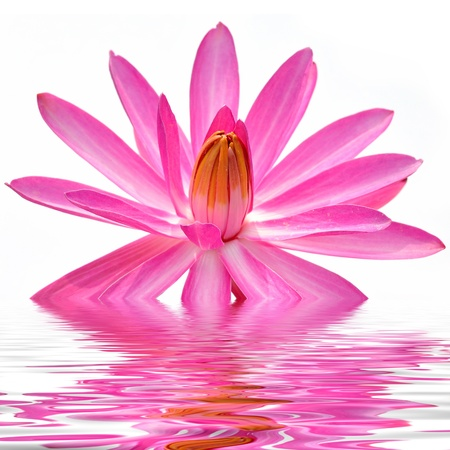 A pink lotus flower in water Stock Photo - 17694232
