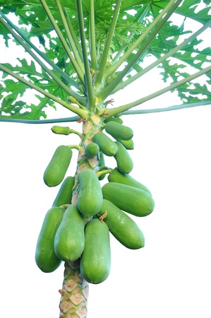 Papaya trees  Stock Photo - 17694251