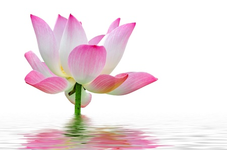 A pink lotus flower in water photo