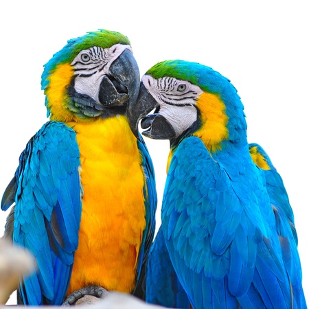 blue and yelow macaw love bird  photo