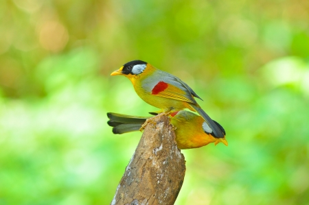 leiothrix argentauris: Golden Bird (Silver-eared Mesia, male), Bird of Thailand