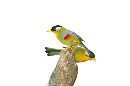 leiothrix argentauris: Golden Bird (Silver-eared Mesia), on white background  Stock Photo