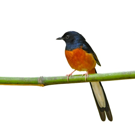 White-Rumped Shama on the white background Stock Photo - 17848209