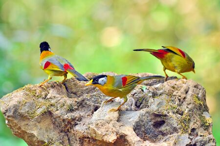leiothrix argentauris: Golden Bird (Silver-eared Mesia), Bird of Thailand