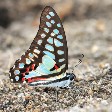 colorful butterfly: Colorful butterfly (Common Jay, Graphium dosonl)