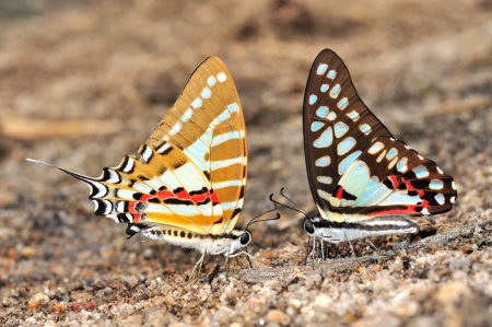 colorful butterfly: Colorful butterfly (Common Jay and Spot Swordtail)