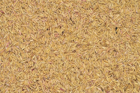 unprocessed: stock image of the unprocessed rice  Stock Photo