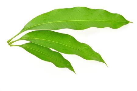 흰색 배경에 고립 된 망고 잎의 다양한 각도 스톡 콘텐츠