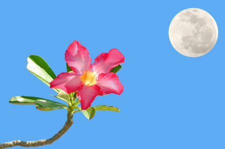 impala lily: impala lily flower with blue sky background and the moon