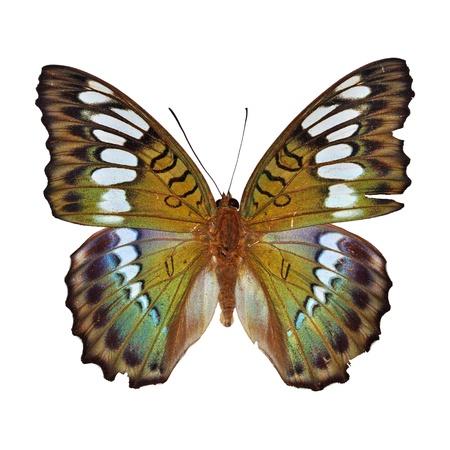 Green butterfly (Euthalia byakko) isolated on white background
