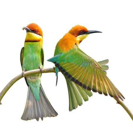 Couple of Bee eater Bird on white background  photo