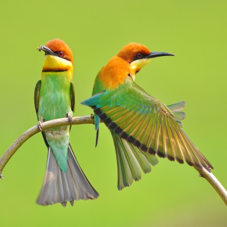 mating colors: Couple of Bee eater Bird
