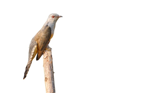 plaintive: Plaintive Cuckoo bird siiting on branch whit white background Stock Photo