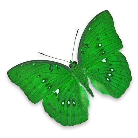 mariposa verde: Verde mariposa, aislado en fondo blanco