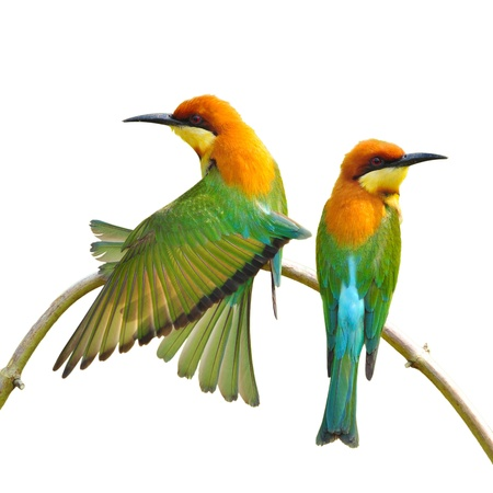 animal mating: Couple of Bee eater Bird on white background